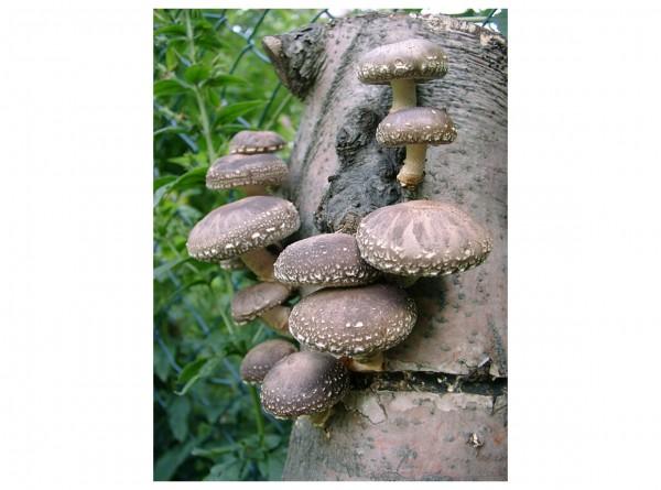 Mature logs inoculated with shiitake mushroom, 2 logs