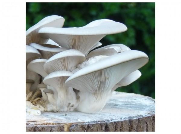 Oyster mushroom, 400 inoculated plugs
