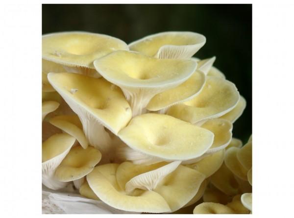 Golden oyster mushroom, grain spawn 1 liter